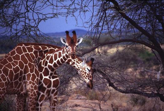 historical-cultural-giraffes