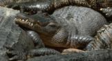 environmental-crocodile